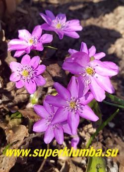 ПЕЧЕНОЧНИЦА БЛАГОРОДНАЯ «РОЗЕА» (Hepatica nobilis var. rosea) Кустик в саду. НОВИНКА! НЕТ В ПРОДАЖЕ.