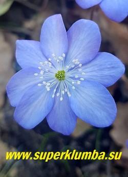 ПЕЧЕНОЧНИЦА ТРАНСИЛЬВАНСКАЯ  БЛЮ ДЖЕВЕЛ (Hepatica transilvanica  Blue  Jewel) Цветок крупным планом. НОВИНКА!  НЕТ НА ВЕСНУ.