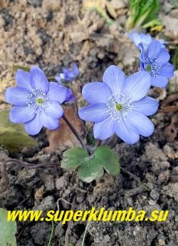 ПЕЧЕНОЧНИЦА ТРАНСИЛЬВАНСКАЯ  БЛЮ ДЖЕВЕЛ (Hepatica transilvanica  Blue  Jewel) красивый сорт с крупными   нежноголубыми цветами с небольшим высветлением по центру лепестков, более заметным в стадии роспуска. НОВИНКА!  ЦЕНА 1000 руб (1 шт)