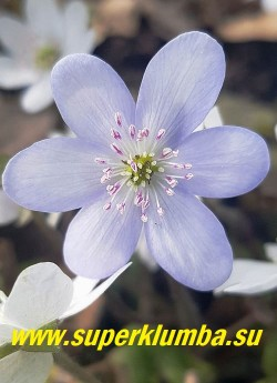 ПЕЧЕНОЧНИЦА БЛАГОРОДНАЯ «ЗИМУШКА» (Hepatica nobilis) Название условное-собственный сеянец.  Красивая форма  с  нежными бело -голубыми  крупными  цветами с розовыми тычинками. Высота 12 см, листья трехлопастные кожистые, цветет в апреле-мае. НОВИНКА!