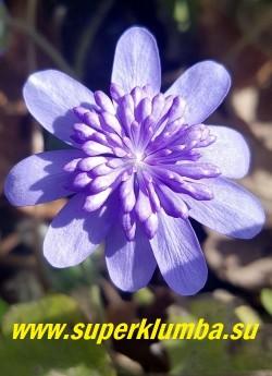 ПЕЧЕНОЧНИЦА ТРАНСИЛЬВАНСКАЯ КОННИ ГРИНФИЛД( Hepatica transilvanica Konny Greenfield) очень крупные махровые голубые цветы с помпоном из узких лепестков в центре. Листья кожистые, пятилопастные. Высота 15 см. НОВИНКА! ЦЕНА 3000 руб