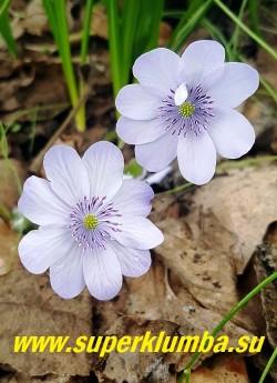 ПЕЧЕНОЧНИЦА СРЕДНЯЯ БАЛЛАРДИ (Hepatica media Ballardii) гибридная печеночница с крупными диаметром 5 см нежно сиренево- голубыми цветами с сиреневыми тычинками. Листва крупная кожистая пяти лопастная, высота 15 см. Цветет в апреле-мае. НОВИНКА! ЦЕНА 1500 руб (1 шт )