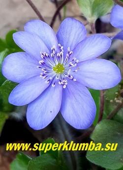 ПЕЧЕНОЧНИЦА ТРАНСИЛЬВАНСКАЯ БЛЮ ДЖЕВЕЛ (Hepatica transilvanica Blue Jewel) Цветок крупным планом. Диаметр цветка 4-5см. НОВИНКА! ЦЕНА 1000 руб (1 шт)