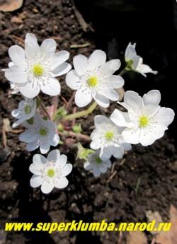 молодой кустик ПЕЧЕНОЧНИЦЫ БЛАГОРОДНОЙ «АЛЬБА» (Hepatica nobilis var. alba) ЦЕНА 500 руб