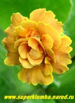 Примула махровая ушковая «ЮПП» (Primula auricula «Jupp») махровая оранжево-желтая примула с ароматом, высота до 15 см, цветет май-июнь, НЕТ  В ПРОДАЖЕ