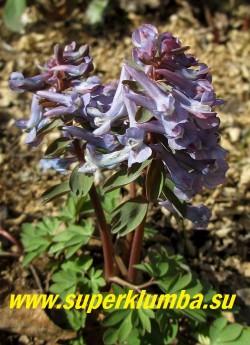 ХОХЛАТКА ГАЛЛЕРА / ПЛОТНАЯ «Сиренево-голубая» (Corydalis solida)  сиренево-голубые  цветы. Цветет в апреле-мае. Высота 10-20 см. НОВИНКА! ЦЕНА 250 руб (1 шт)