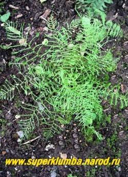 """ЩИТОВНИК МУЖСКОЙ """"Линеарис Полидактилон"""" (Dryopteris filix-mas """"Linearis Polydactylon"""")  воздушное, грациозное растение с вайями, разделенными на очень узкие сегменты, которые на концах расщепляются на гребешки. Высота до 60 см. Неприхотлив, зимостоек. предпочитает влажную тень-полутень. ЦЕНА 450 руб  (взрослые экземпляры)"""