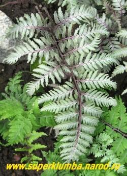"""КОЧЕДЫЖНИК ЯПОНСКИЙ """"Урсулас Ред"""" (Athyrium niponicum """"Ursula''s Red"""") взрослый лист крупным планом. Фантастическая расцветка и контрастность. Сорт крупный с прочными листьями, образующими красивую вазообразную форму. ЦЕНА 400 руб (1 дел)"""