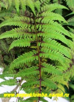 КОЧЕДЫЖНИК ЯПОНСКИЙ «Пиктум» (Athyrium niponicum «Pictum») Лист крупным планом. Окраска лучше всего проявляется в светлой полутени . НОВИНКА! ЦЕНА 300 руб (1 дел)