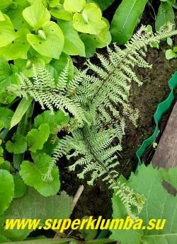 КОЧЕДЫЖНИК ЯПОНСКИЙ «Оушенс Фури» (Athyrium niponicum Ocean's Fury)   Красивый ажурный папоротник с серебристо-голубыми листьями.  Листья  сильно рассечены, кончики  раздвоены, образуя эффектные кисточки.  Стебли красновато-коричневые.  Куст компактный воздушный красивый. Высота  40-60 см. НОВИНКА! НЕТ В ПРОДАЖЕ.