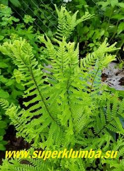 """ЩИТОВНИК РОДСТВЕННЫЙ """"Кристата зе Кинг"""" (Dryopteris affinis 'Cristata The King') НОВИНКА! ЦЕНА 600 руб ( взрослое крупное растение)"""