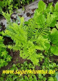 """ЩИТОВНИК РОДСТВЕННЫЙ """"Кристата зе Кинг"""" (Dryopteris affinis 'Cristata The King') на верхушках  листья расщепляются на эффектные крупные  сложные  гребни. НОВИНКА! ЦЕНА 600 руб ( взрослое крупное растение)"""