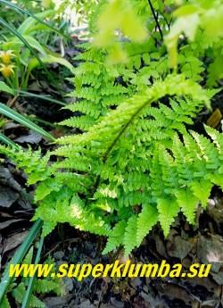 """ЩИТОВНИК МУЖСКОЙ """"Криспа"""" (Dryopteris filix-mas 'Crispa') Очень декоративный папоротник. Листья зелёные, глубоко-перисто-рассечённые, доли их  сильно сближены, благодаря чему растение имеет «взъерошенный» вид. Высота 40-50 см. НОВИНКА! ЦЕНА 350 руб"""