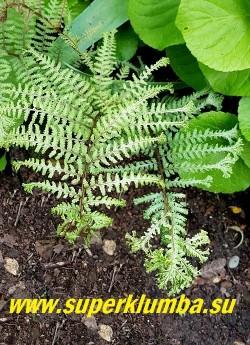 КОЧЕДЫЖНИК ЯПОНСКИЙ «Оушенс Фури» (Athyrium niponicum Ocean's Fury) Листья крупным планом.  Листья  сильно рассечены, кончики  раздвоены, образуя эффектные кисточки. НОВИНКА! НЕТ В ПРОДАЖЕ.