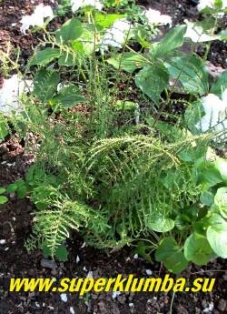 """ЩИТОВНИК МУЖСКОЙ """"Линеарис Полидактилон"""" (Dryopteris filix-mas """"Linearis Polydactylon"""")   Неприхотлив, зимостоек. предпочитает влажную тень-полутень. ЦЕНА 500 руб (взрослое крупное растение)"""