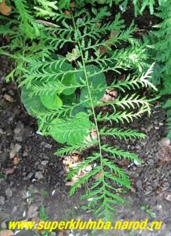 """Лист ЩИТОВНИКА МУЖСКОГО """"Линеарис Полидактилон"""" (Dryopteris filix-mas """"Linearis Polydactylon"""") крупным планом .  ЦЕНА 500 руб (взрослое крупное растение)"""